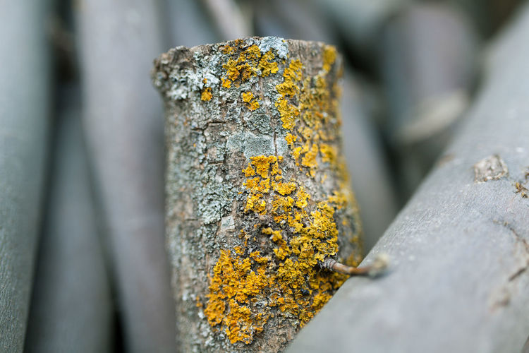 Close-up of lichen on tree trunk