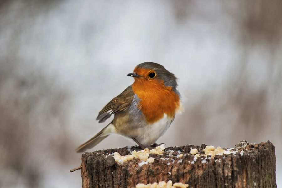 The North Wind doth blow... Premium Collection Birds Of EyeEm  Animal Themes Animal Wildlife Animals In The Wild Beauty In Nature Bird Birds Blurred Background Close-up Day Fauna Nature No People One Animal One Bird Outdoors Perching Robin Robin Redbreast