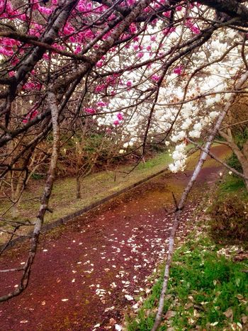 Walking 🚶 Up The Pavement Taking Photos ❤ Nature Tree Flower Growth Beauty In Nature Freshness Fragility Springtime Outdoors No People Branch Day Blossom Scenics Close-up Water Saikai City Japan