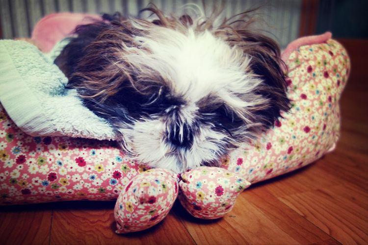 before Wintercoat Pet Shi Tzu Dog My Baby