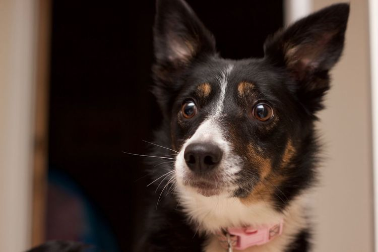 Pets Domestic Animals One Animal Dog Mammal Animal Themes Looking At Camera Close-up Animal Head  Focus On Foreground Indoors  Portrait No People Day Shocked Border Collie Dogs Of EyeEm Wide Eyes