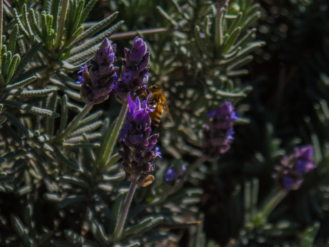 Beauty In Nature Close-up Coniferous Tree Day Flower Flower Head Flowering Plant Focus On Foreground Fragility Freshness Green Color Growth Inflorescence Nature No People Outdoors Petal Plant Purple Selective Focus Vulnerability