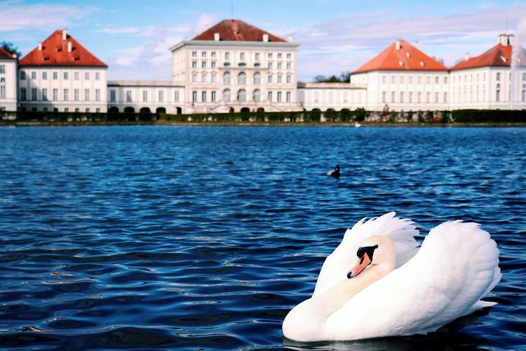 Swan swimming in lake against buildings