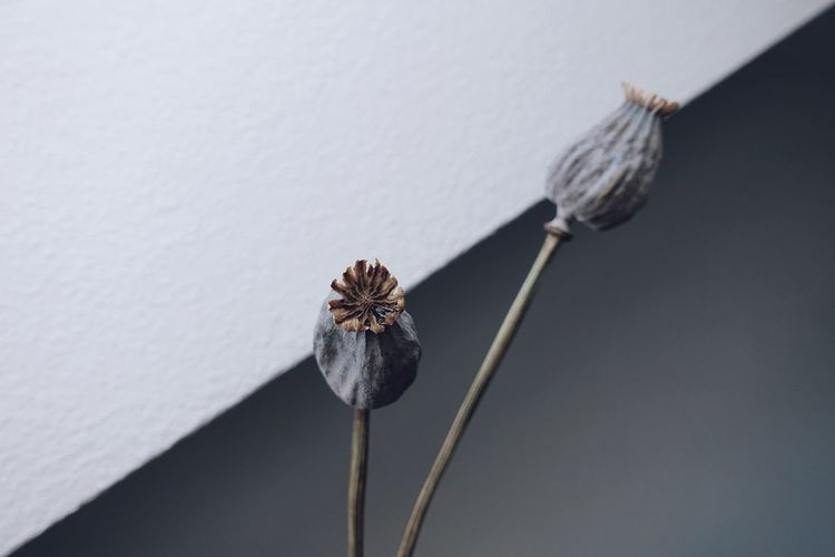 Life Love Nature Plant Sunlight Close-up Day Daylight Dry Flower Head Fragility Geometric Shape Geometry Gray Indoors  Lifestyles Light And Shadow Minimal Minimalism Nature_collection Naturelovers No People Poppy Still Life Visual Creativity The Still Life Photographer - 2018 EyeEm Awards