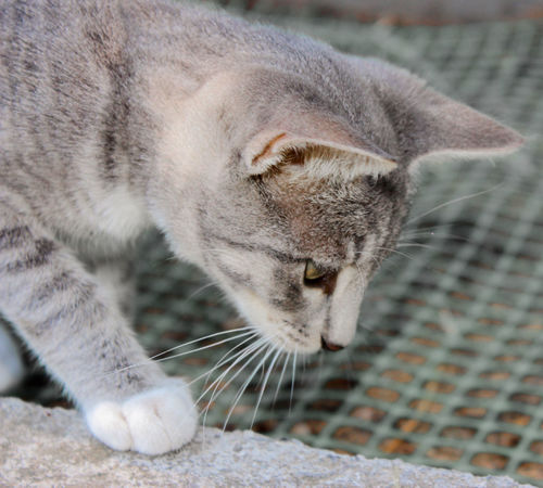 Sweet baby cat walking on a wall Babycat Beautiful Kitty Animal Themes Cat Lovers Close-up Day Domestic Animals Domestic Cat Feline Focus On Foreground Grey Color Kitten Little Mammal Miau Nature No People One Animal Outdoors Pets Snorring Sweet Velvet Whisker