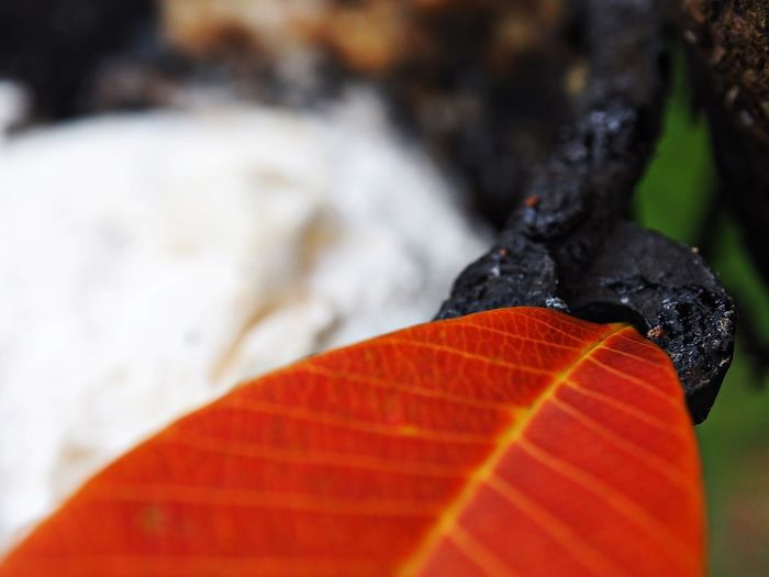 Rubber Tree Latex Fresh Latex Field Latex Natural Latex Rubber Tree In Thailand Rubber Forest Rubber Plantation Hevea Brasiliensis Good Morning Rubber Tree Leaves Red Orange Color Close-up Focus On Foreground Selective Focus No People Day Nature Autumn Orange Plant Part