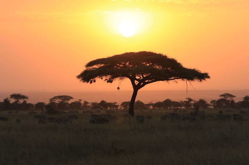 Sunrise over Serengeti EyeEmNewHere Sunrise Zebras Akasie Acasia Tree Serengeti National Park Safari Tanzania Magic Moments No People Nature Tree Outdoors Scenics Landscape