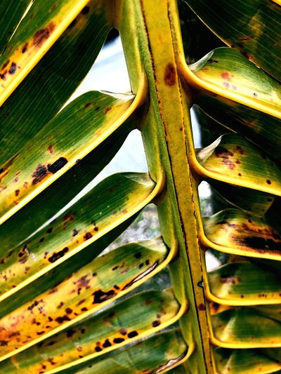 Dying palm Growth Leaf Green Color Day No People Nature Outdoors Plant Close-up Beauty In Nature Tree