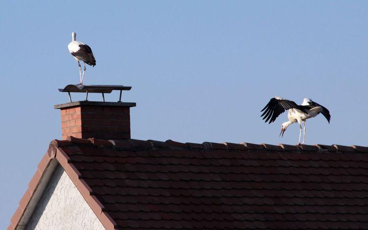Animals Bei Der Balz Clear Sky House No People Outdoors Roof Störche