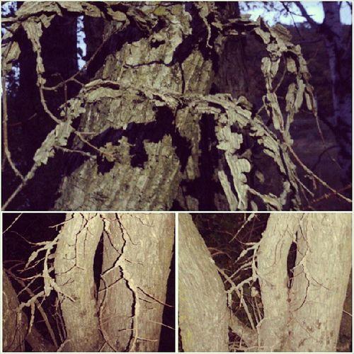 Нашли дерево со странными ветками