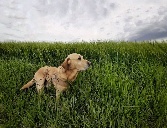 Wind Animals In The Wild One Animal Labrador Countryside Country Road Serious Pet Looking Away Landscape Portrait Relaxing Tranquil Scene Dog Pets Water Sky Grass Green Color Grass Area Dragonfly Growing Blade Of Grass Grazing Plant Life Damselfly Dew Farmland Field Carnivora
