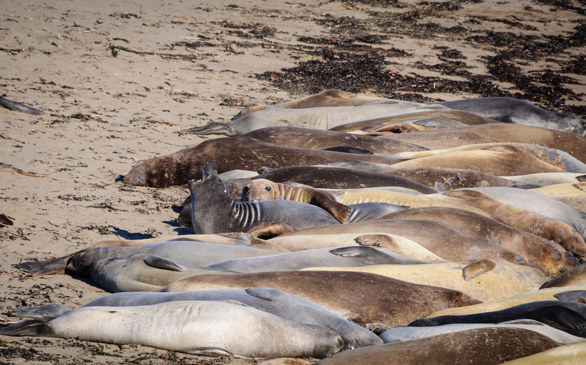 High Angle View Of Sea Lions Lying At Beach