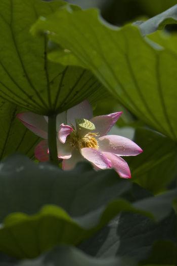 waterlily Flower Leaf Nature