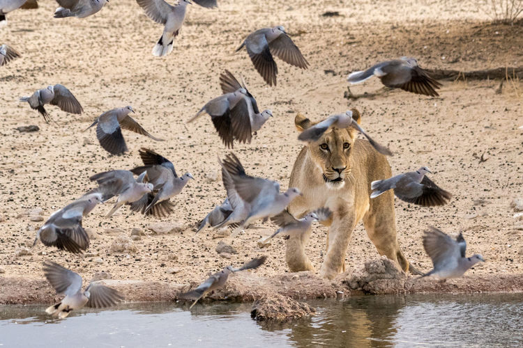 African Animals Birds Of EyeEm  Doves Kalahari Wildlife Photography Animal Themes Animal Wildlife Animals In The Wild Bird Birds In Flight Day Flock Of Birds Flying Kgalagadi Transfrontier Park Large Group Of Animals Lioness Mammal Motion Nature Outdoors