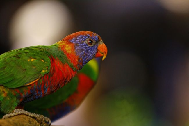 Animal Themes Animal Wildlife Animals In The Wild Beauty In Nature Bird Close-up Day Focus On Foreground Multi Colored Nature No People One Animal Outdoors Parrot Perching Rainbow Lorikeet