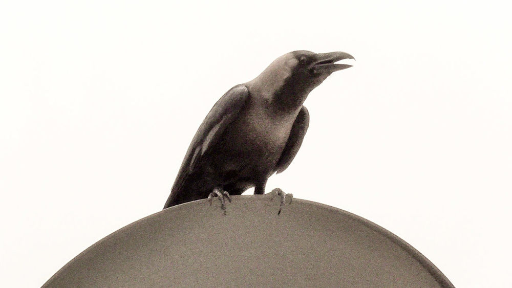 THE CROW CAWING EyeEm Selects Foraging For Food Cawing Perching On Dish Bird White Background Perching Close-up Sky Crow