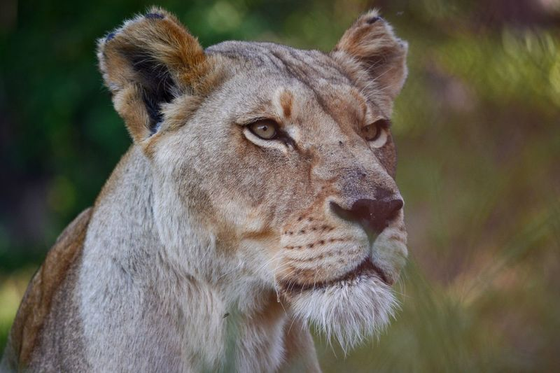 Lion Head Wildlife Photography Wildlife & Nature Wild Lion And Cheetah Park Harare Zimbabwe 🇿🇼 Lion Animals In The Wild One Animal Animal Themes Focus On Foreground Mammal Animal Head  Wildlife Lioness Lion - Feline Day No People Close-up Portrait Outdoors