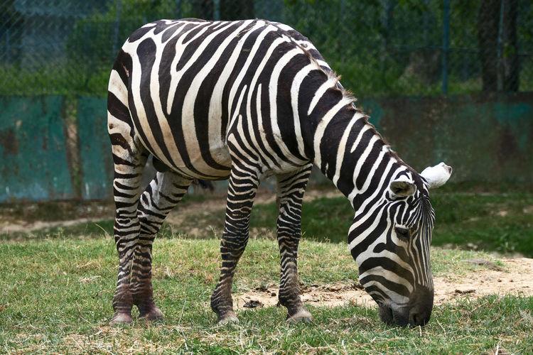 Zebra Full