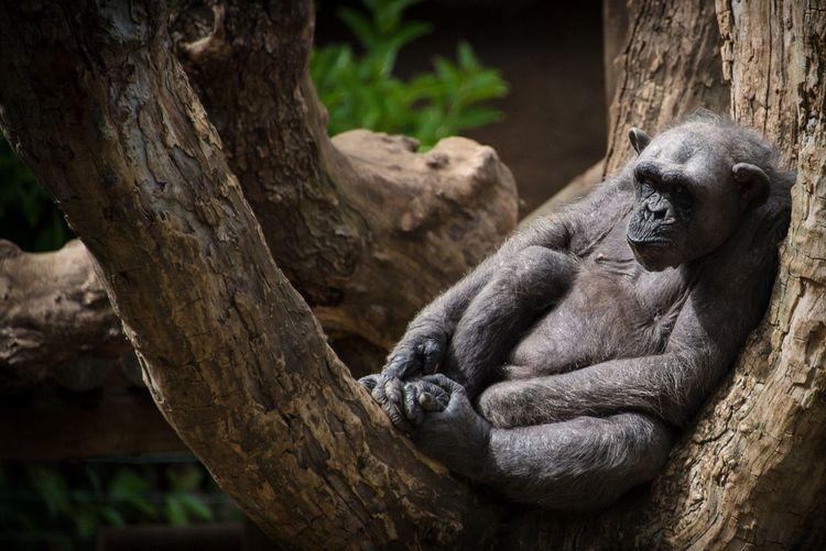 Old chimpanzee sitting in tree
