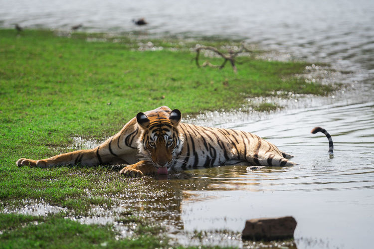 Tiger relaxing on riverbank