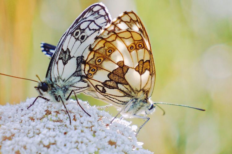 Adapted To The City Insect Animal Themes Animals In The Wild One Animal Close-up Butterfly - Insect Nature Beauty In Nature Animal Wildlife No People Plant Flower Day Outdoors Fragility Freshness Bokeh Butterfly Colors Bokeh Photography Flowers Plant Love Beautiful Nature