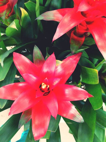 Flower Bromelias Nature_perfection Green Leaves
