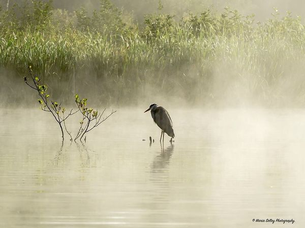 One Animal Bird Animal Themes Wildlife Animals In The Wild Water Reflection Plant Nature Waterfront Day Outdoors Growth Beauty In Nature Tranquility Beak Water Bird Zoology No People Riverbank heron, mist, lake,feathers,wings