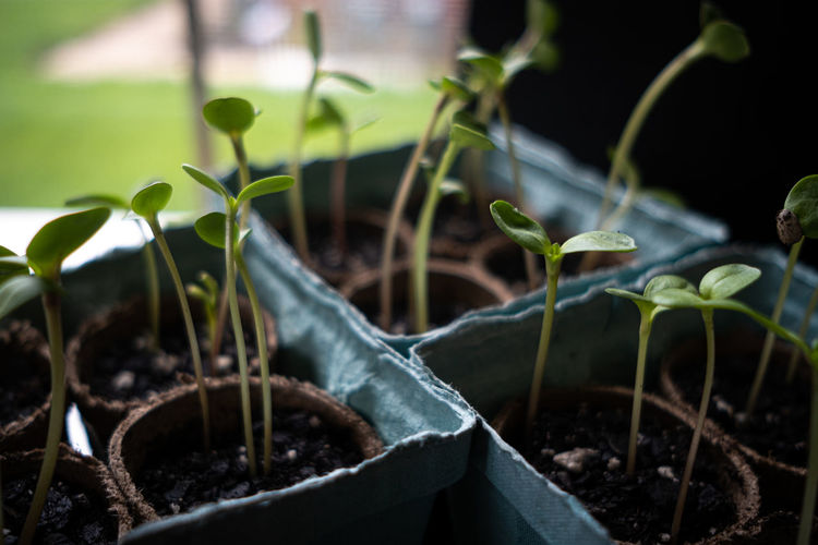 Close-up of garden vegetable sprouts beginning indoors by a window