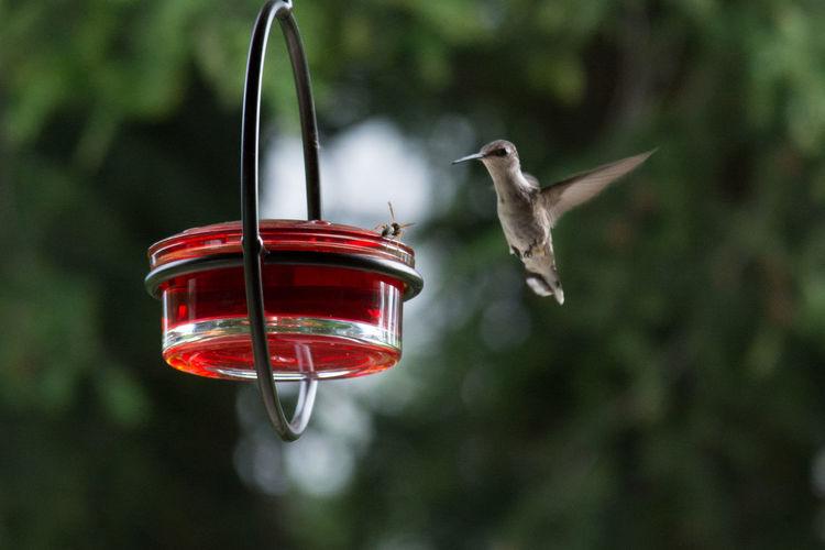 Humming Bird Approaching Bird Feeder