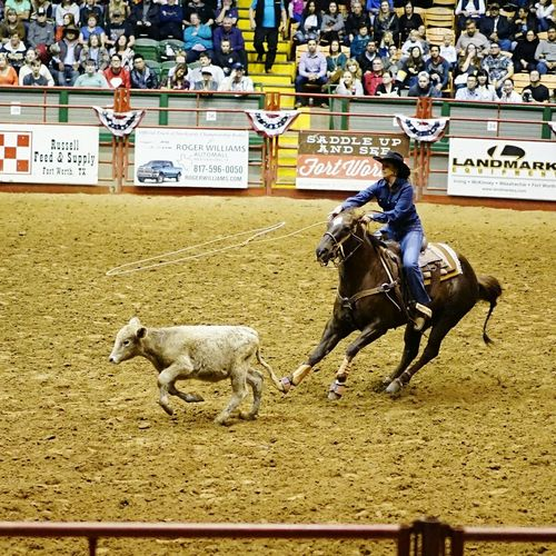 Text Domestic Animals One Animal Day Livestock Men Mammal Outdoors Cow Stadium Crowd StockyardsChampionship Cowtown Coliseum Fort Worth, TX Cowgirl Cow