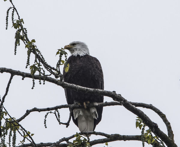 Bald Eagle Bald Eagle Portrait Steigerwald Animal Animal Themes Animal Wildlife Animals In The Wild Bald Eagle Close-up Bird Bird Of Prey Branch Clear Sky Day Eagle Eagle - Bird Low Angle View Nature No People One Animal Outdoors Perching Plant Sky Tree Vertebrate