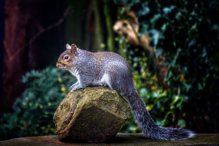 Squirrel 😍 Gardenvisitor Animal Rodent Animal Portrait Squirrels Grey Squirrel Squirrel! EyeEm Animal Lover Animals In The Wild Garden Visitors