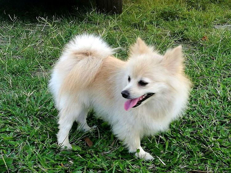 Hey my name is Sofie. Thaibabypom Dogplaying Animal Themes