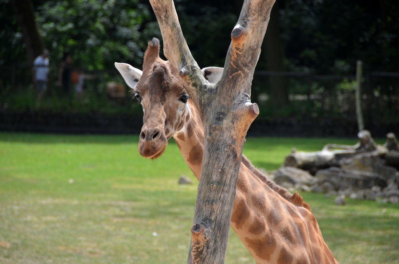 Portrait Of Deer Standing On Tree Trunk