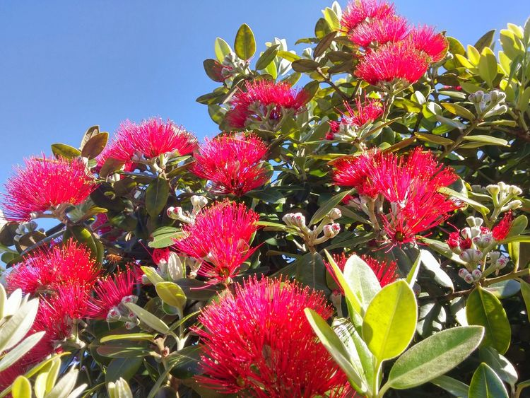 😃🎄 NZ Christmas Tree😍🎄 Lil Ole NZ New Zealands Summer😍 Clear Sky Close-up Low Angle View Beauty In Nature Pink Color Blue Skies No Clouds Fantastic Morning Glory💙 Red Bees And Flowers Sky Outdoors Nature Tauranga New Zealand Gorgeous Weather Perfect Day Good Morning! Saturdays Pohutukawa🎄 Freshness