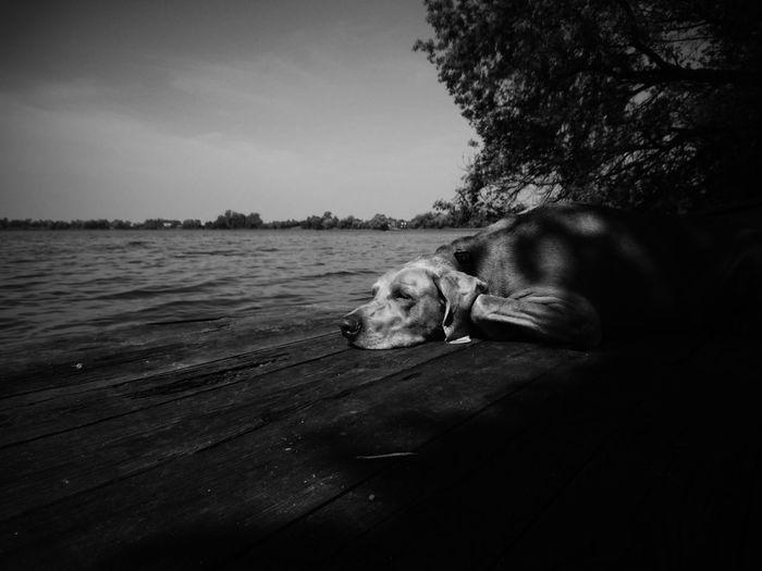 Weim on holiday. Dog Pets Domestic Animals Water Animal Themes Nature Weimaraner Landscape Beauty In Nature EyeEm Best Shots EyeEm Best Edits VSCO Summer Outdoors Lake Pet Portraits