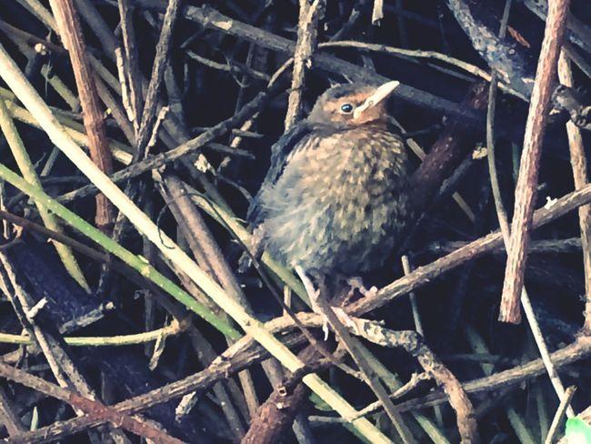 Baby Bird Derbados