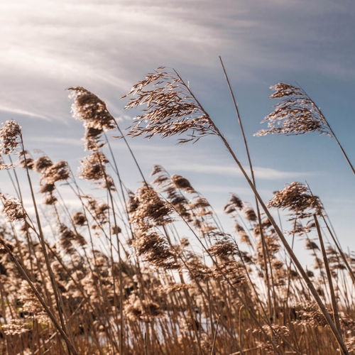 Low angle view of reed growing on field against sky