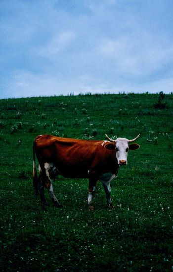 Cow Domestic Animals Animal Themes One Animal Mammal Livestock Grass Field Cow Landscape Sky No People Nature Tranquility Green Color Cloud - Sky Day Outdoors Standing Grazing Farm Animal Sommergefühle