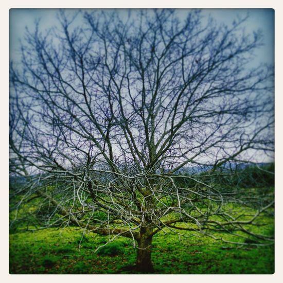 Tree Etna Sicily