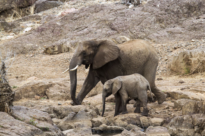 View of elephant and her calf walking in kruger national park