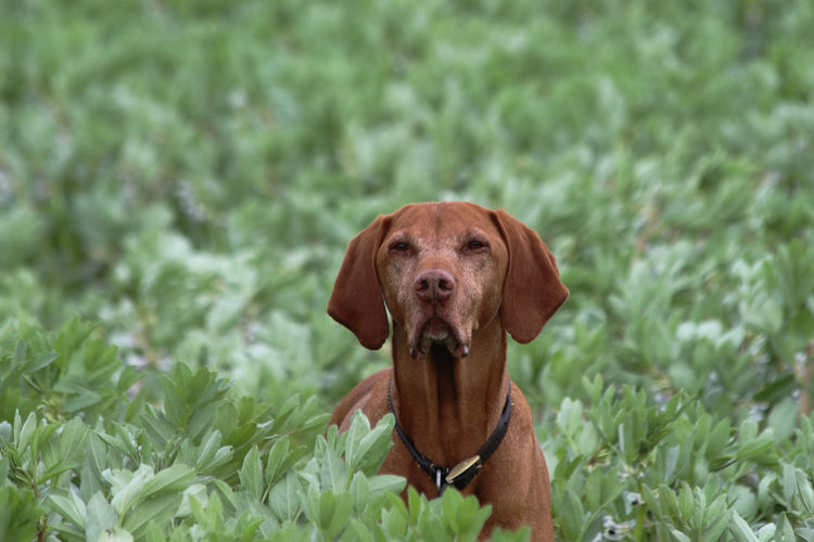 Whaddyu mean get out the crop? Look at me owning this field! :D Field Green Color Vizsla Bean Crop Brown Crop  Dog Domestic Animals Immersed In Nature My Field Spring Vizsla Life