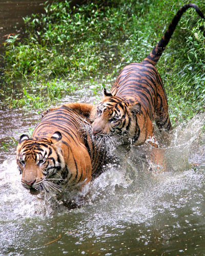 Close-Up Of Tigers Playing In Water