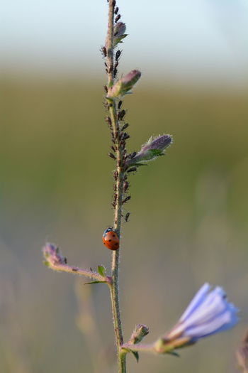 Close-up of insect on plant, with ladybug and aphids