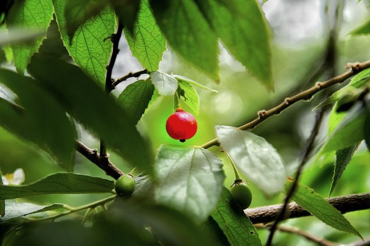 Fruit Green Color Nature Close-up Day Outdoors Beauty In Nature Plant Growth Food Red Tree No People