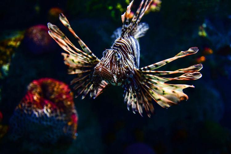 Lion fish in aquarium Lion Fish Animal Animal Themes Animal Wildlife Animals In The Wild Aquarium Aquarium Life Beauty In Nature Close-up Focus On Foreground Marine Nature No People One Animal Outdoors Sea Sea Life Swimming Tank UnderSea Underwater Water