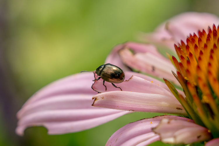 Beetle Bug Close-up Day Flower Green Macro Nature No People Outdoors Petal Pink