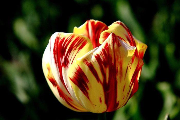 Tulip Tulips Tulips🌷 Tulipmania Tulipfields Landscape_photography Landscape_Collection Tulips Flowers Relaxing Nature_collection Landscape_collection EyeEmNatureLover Flower Collection Flowers Taking Photos Taking Photos Enjoying Life Relaxing Landscape