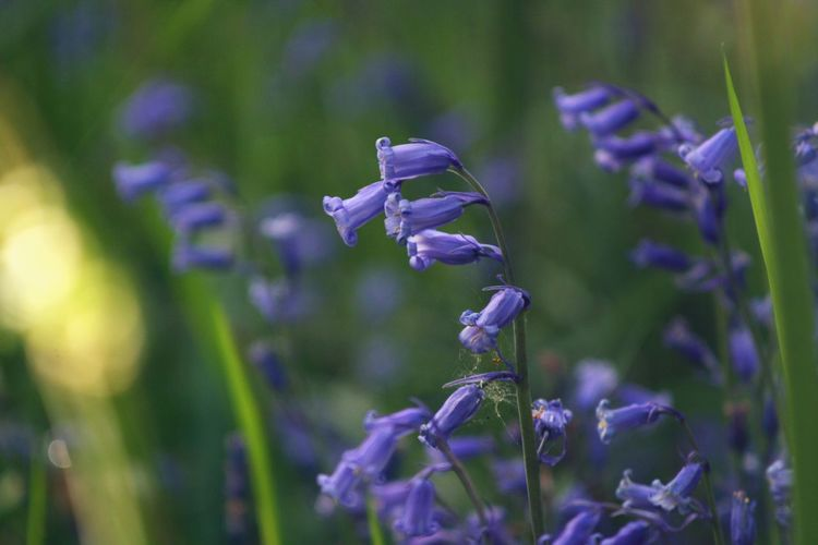 Scotland Bluebells Bluebell Woods Purple Plant Flower Beauty In Nature Flowering Plant Growth Close-up Nature Freshness Fragility Vulnerability  Focus On Foreground No People Flower Head Inflorescence Petal Springtime Outdoors Day