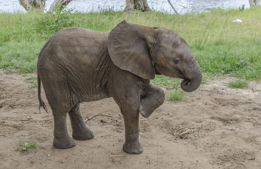 Young Elephant Animal Themes Animal Wildlife Animals In The Wild Calf Elephant Field Mammal Nature One Animal Outdoors Safari Animals